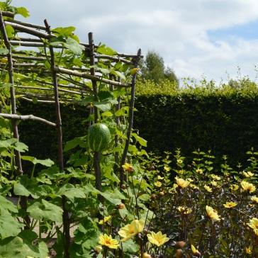 fig leaved squash frame outside