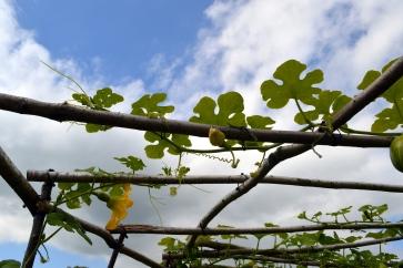 fig leaved squash