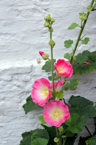 hollyhock on white wall