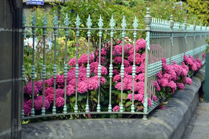 hydrangeas and wrought iron fence.JPG